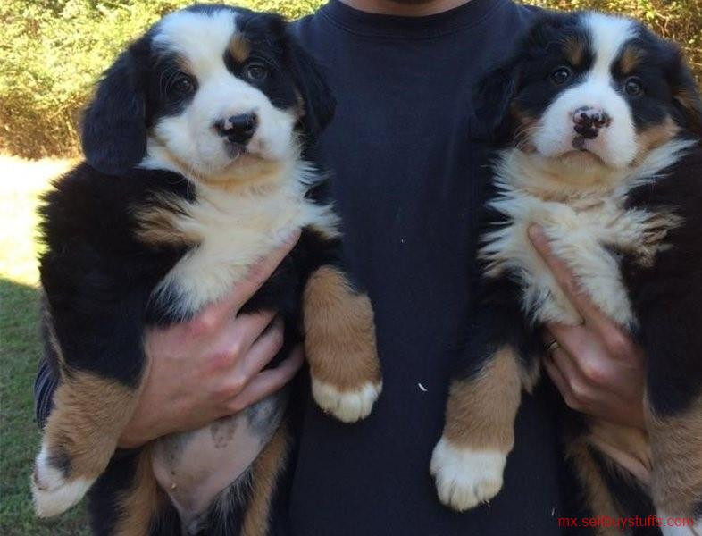 second hand/new: Bernese Mountain Dog